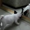 子犬が鏡を見た反応が可愛すぎる!