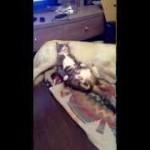 犬を枕にして寝る猫。バレた後の反応は・・・!