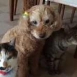 猫化したプードルが可愛すぎる!!