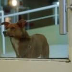 倒れた飼い主を病院で待ち続けるワンちゃん。