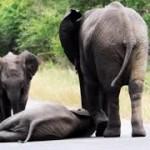 道路に倒れた子ゾウに寄り添う母!