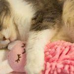 人形を抱きしめる可愛い猫 Cute Cat Hugs Doll